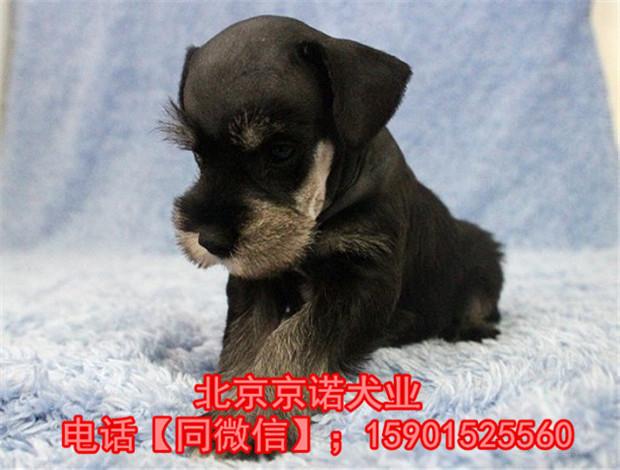 纯种雪纳瑞 北京雪纳瑞多少钱一只 京诺犬业直销12