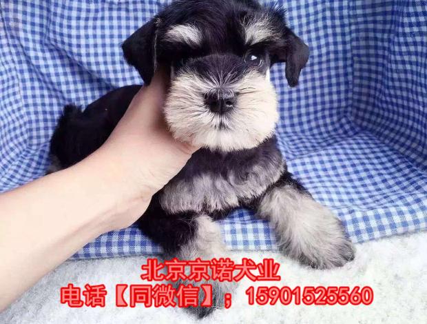 纯种雪纳瑞 北京雪纳瑞多少钱一只 京诺犬业直销8