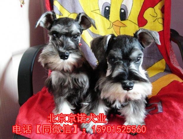 纯种雪纳瑞 北京雪纳瑞多少钱一只 京诺犬业直销5