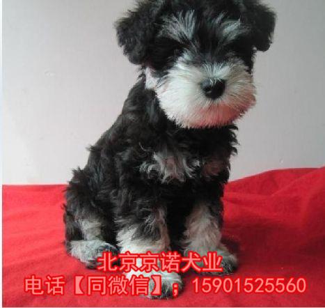 纯种雪纳瑞 北京雪纳瑞多少钱一只 京诺犬业直销3