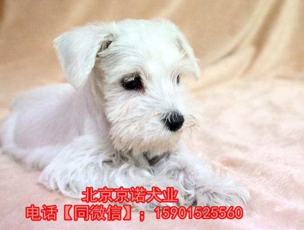 纯种雪纳瑞 北京雪纳瑞多少钱一只 京诺犬业直销4