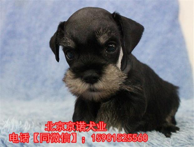 纯种雪纳瑞 北京雪纳瑞多少钱一只 京诺犬业直销1
