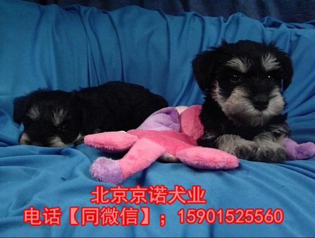 纯种雪纳瑞 北京雪纳瑞多少钱一只 京诺犬业直销2