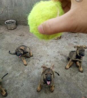 昆明犬和德牧的区别德宏狗场常年卖昆明犬