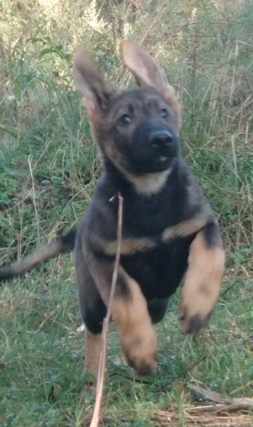 警犬昆明犬红河州狗场常年卖纯种昆明犬
