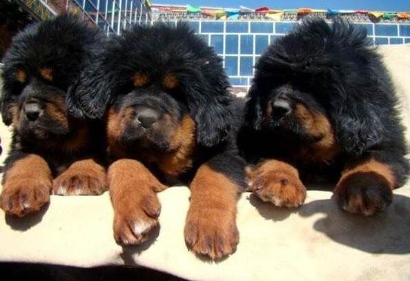 遵义藏獒遵义狗场常年卖纯种藏獒