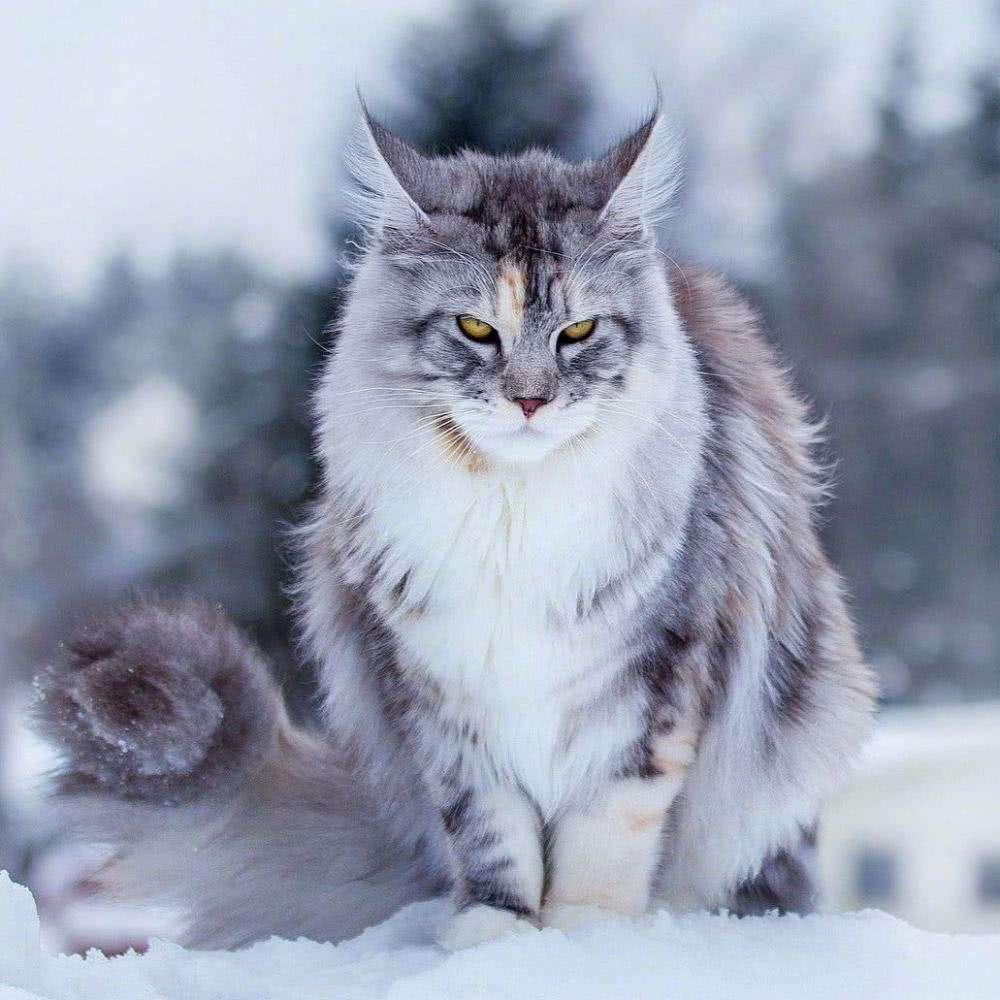 大型缅因猫巨型猫幼猫活体宠物猫咪银虎斑挪威森林猫