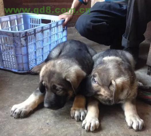 思茅买昆明犬请来云南犬场选购 纯种昆明犬出售