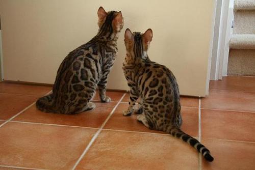 权威机构认证猫舍、专业豹猫培育 完美售后服务4