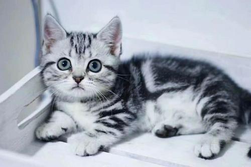 权威机构认证猫舍、专业美国短毛猫培育、完美售后服务