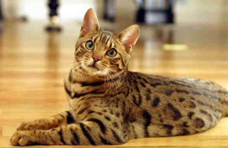 权威机构认证猫舍、专业豹猫培育 完美售后服务2