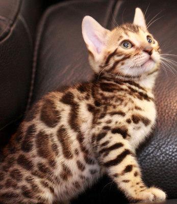 权威机构认证猫舍、专业豹猫培育 完美售后服务