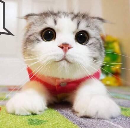 权威机构认证猫舍 专业纯种折耳猫繁殖 完美售后