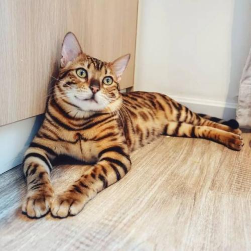 权威机构认证猫舍、专业豹猫培育 完美售后服务3