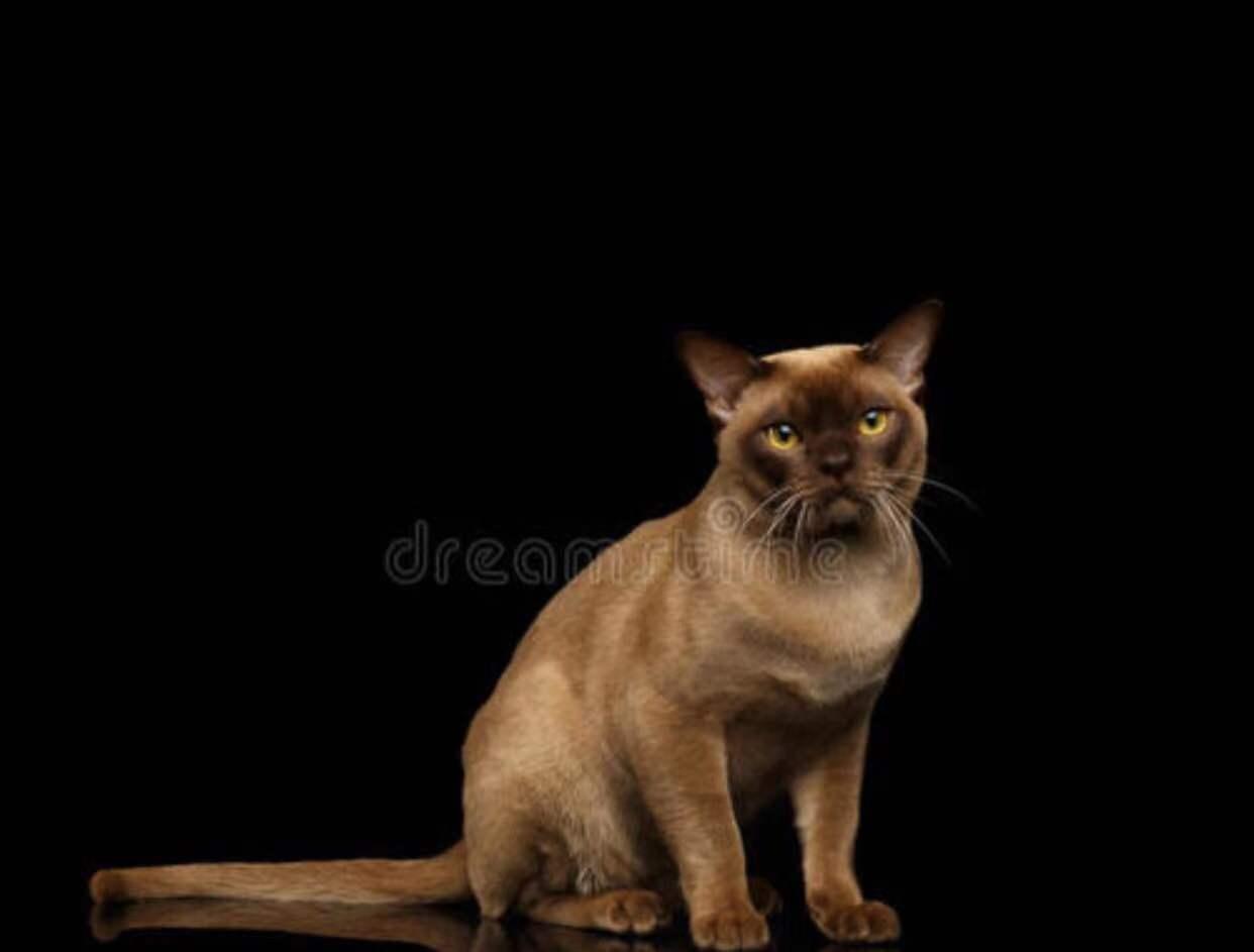权威机构认证猫舍、专业缅甸猫培育、完美售后服务