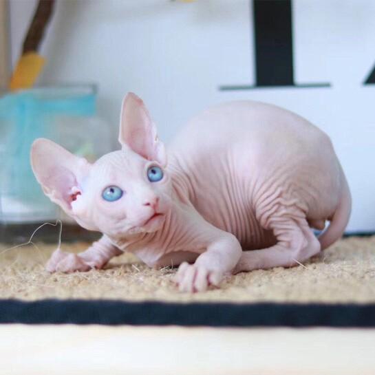 广州黑色五毛猫哪里有无毛猫多少钱