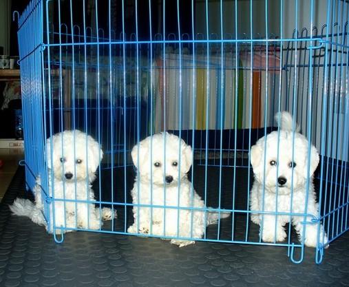 云南景洪卖比熊犬狗场常年卖纯种比熊犬