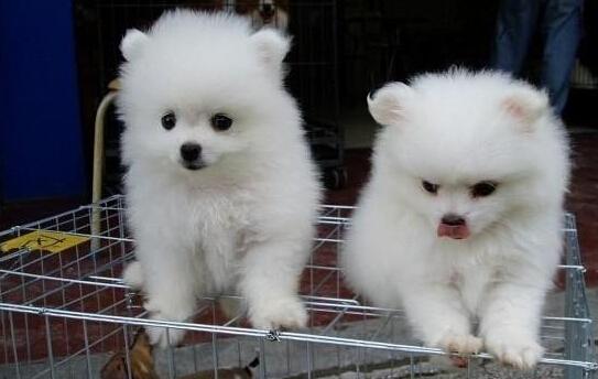 云南昆明狗场常年繁殖出售博美犬报纯种健康