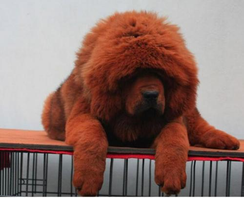 广东哪里有狗场卖藏獒犬5