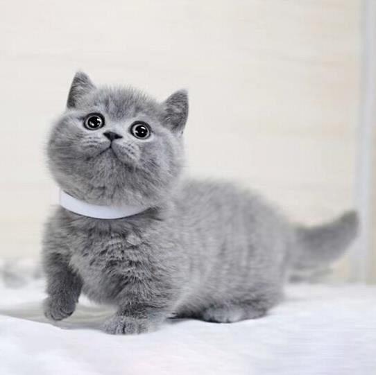 哪里有蓝猫卖的 蓝猫多少钱 蓝猫眼睛什么颜色的 蓝猫好养吗