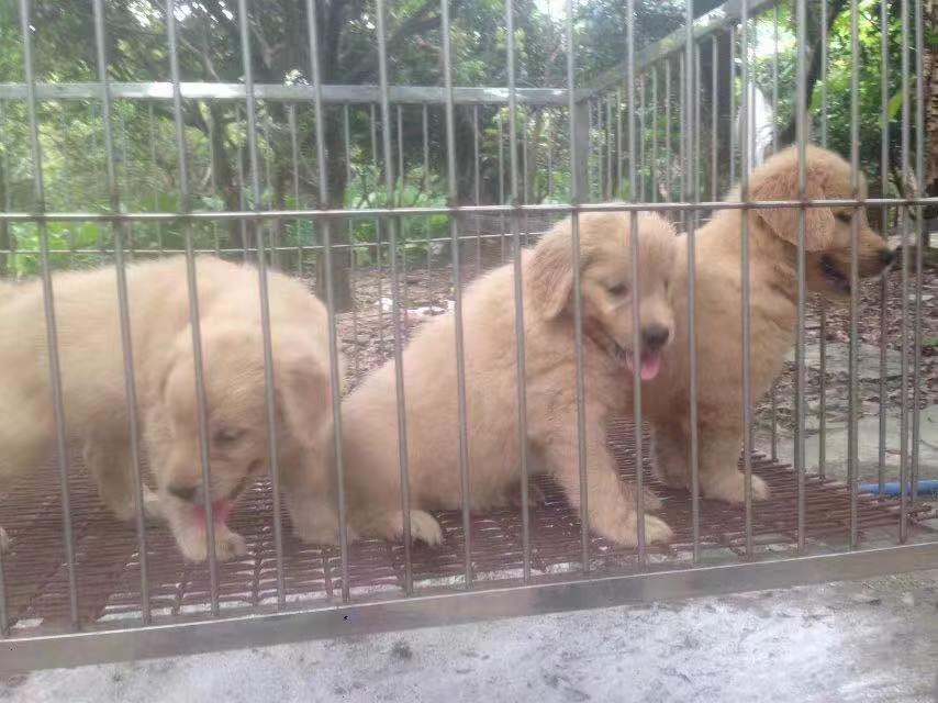广州哪里有狗场,好的犬舍是哪家,广州汇星犬舍3