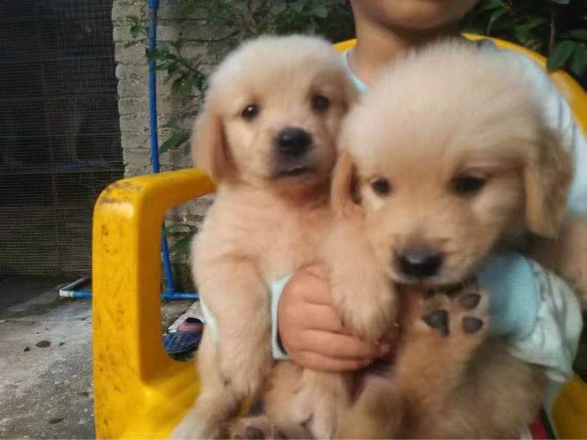 广州哪里有狗场,好的犬舍是哪家,广州汇星犬舍1