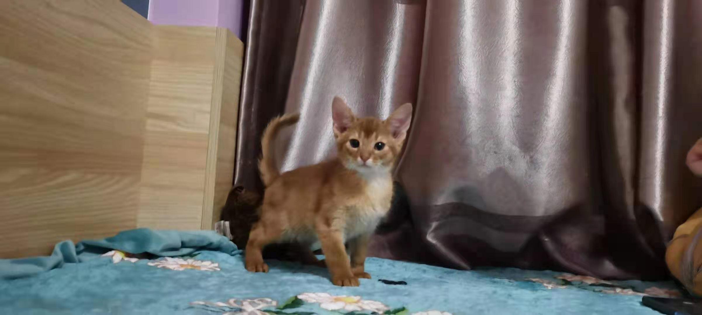 阿比西尼亚猫  索马里血 2母1公80天