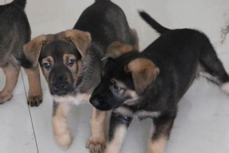 拉萨买昆明犬 养犬基地常年出售昆明犬小狗