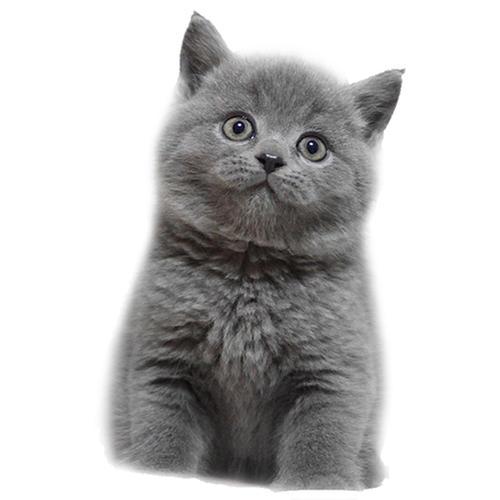 东莞哪里卖漂亮蓝猫 纯种蓝猫价格是多少