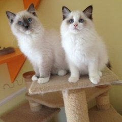 佛山哪里有卖布偶猫佛山布偶猫价格多少钱