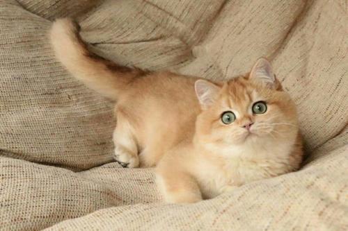 多窝可选专业繁殖保证质量,广州哪里有卖金渐层猫