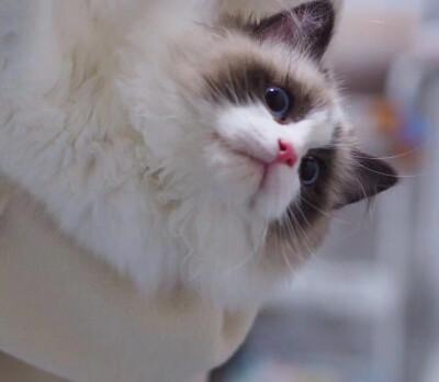猫舍在什么地方佛山哪里有卖布偶猫