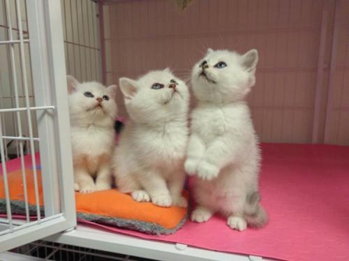 买银渐层上门挑选 纯种血统 带证书广州哪里有卖银渐层猫