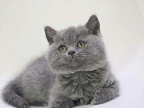 深圳哪里有蓝猫卖,出售家养精品蓝猫英短 包健康