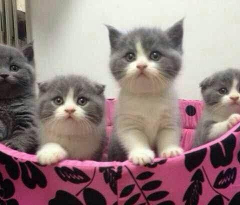 可爱小蓝白猫佛山哪里有卖蓝白猫