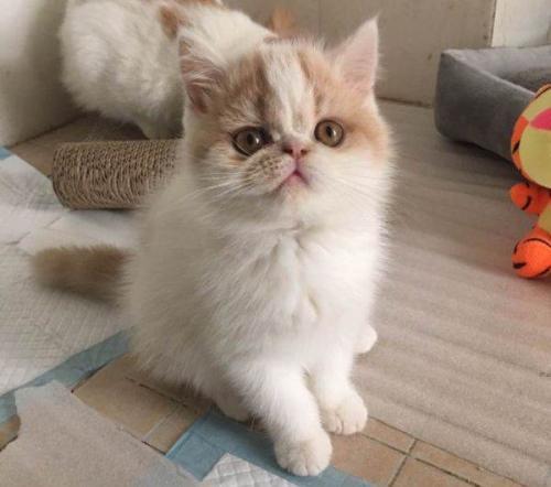 加菲猫 品种齐全 售后有保障中山哪里有卖加菲猫