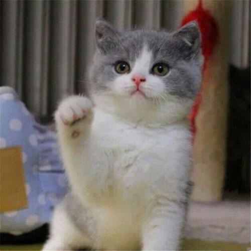 蓝白猫多少钱?广州英国短毛猫蓝白哪里买?