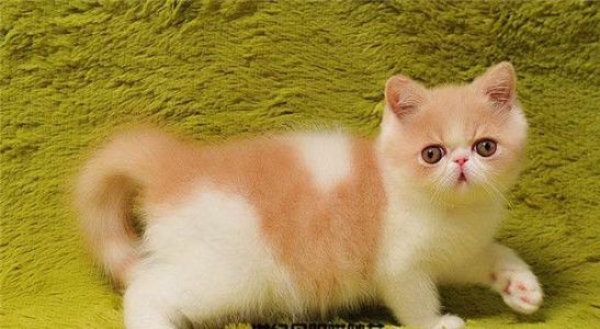 纯种带血统加菲猫哪买呢,广州哪里有卖加菲猫