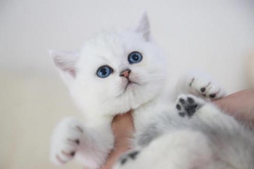 英国的银渐层短毛猫广州哪里有卖银渐层猫