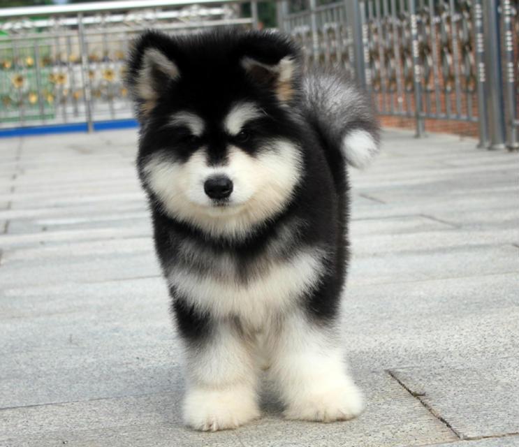 松江区阿拉斯加犬多少钱阿拉斯加犬照片松江区出阿拉斯加