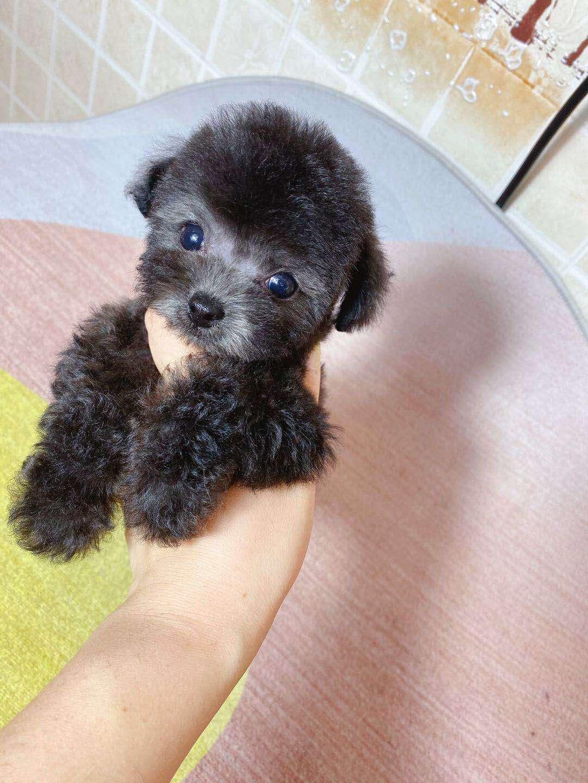 沈阳本地灰泰迪出售 CKU注册犬舍3