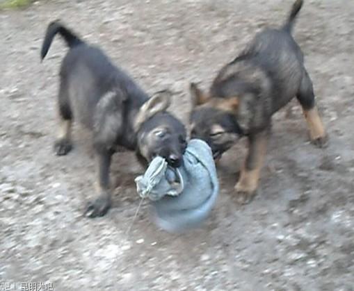 西昌买昆明犬 养殖场常年出售昆明犬小狗