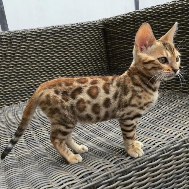 极品豹猫公母都有,全国可发