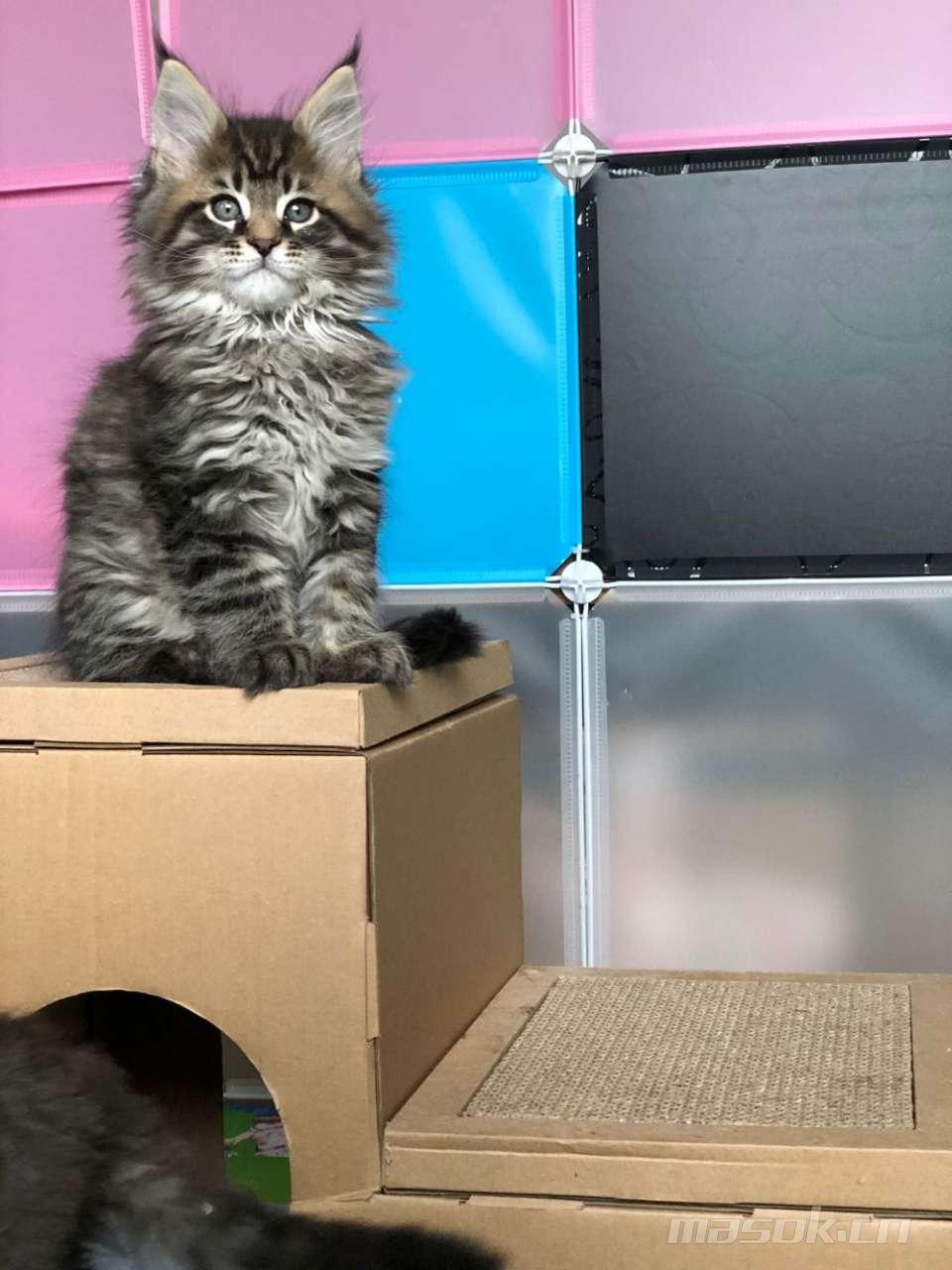 极品缅因猫公母都有,全国可派送新家