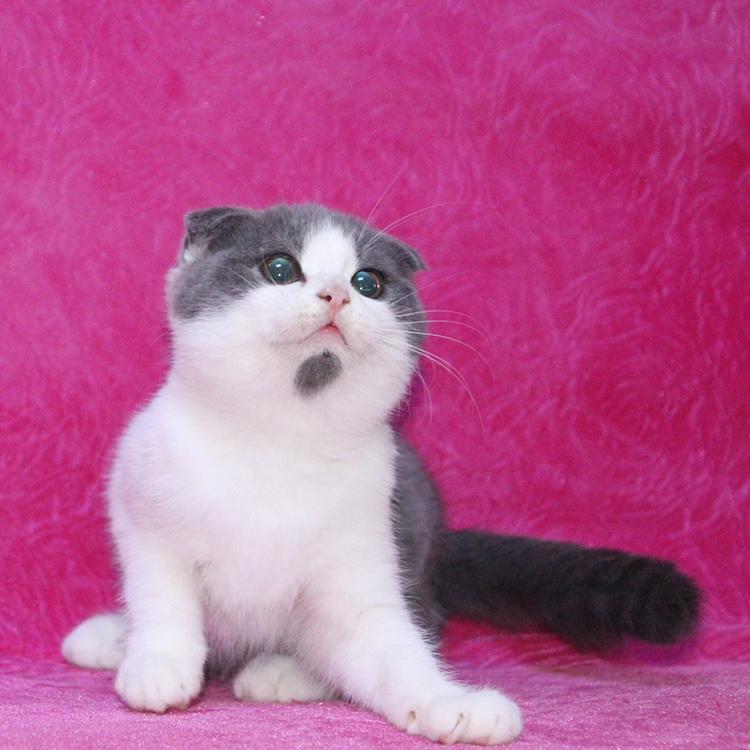 深圳哪里有卖苏格兰折耳猫 深圳苏格兰折耳猫一只多少钱