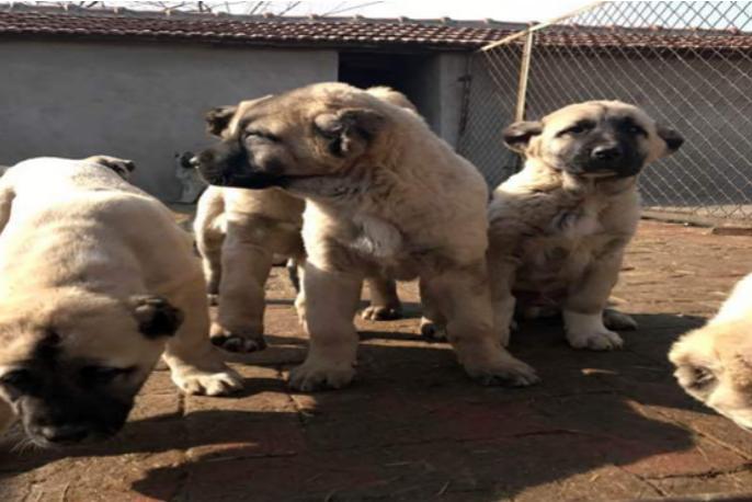 高大威猛的坎高犬找新家 质保三年可免费送货