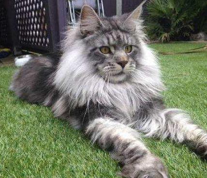 佛山哪里有缅因猫卖 好养吗
