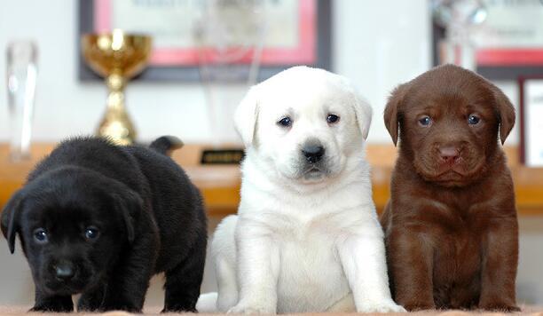 拉布拉多曲靖狗场拉布拉多幼犬常年出售1