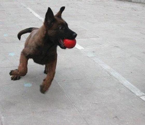 云南曲靖马犬出售狗场纯种马犬常年出售1