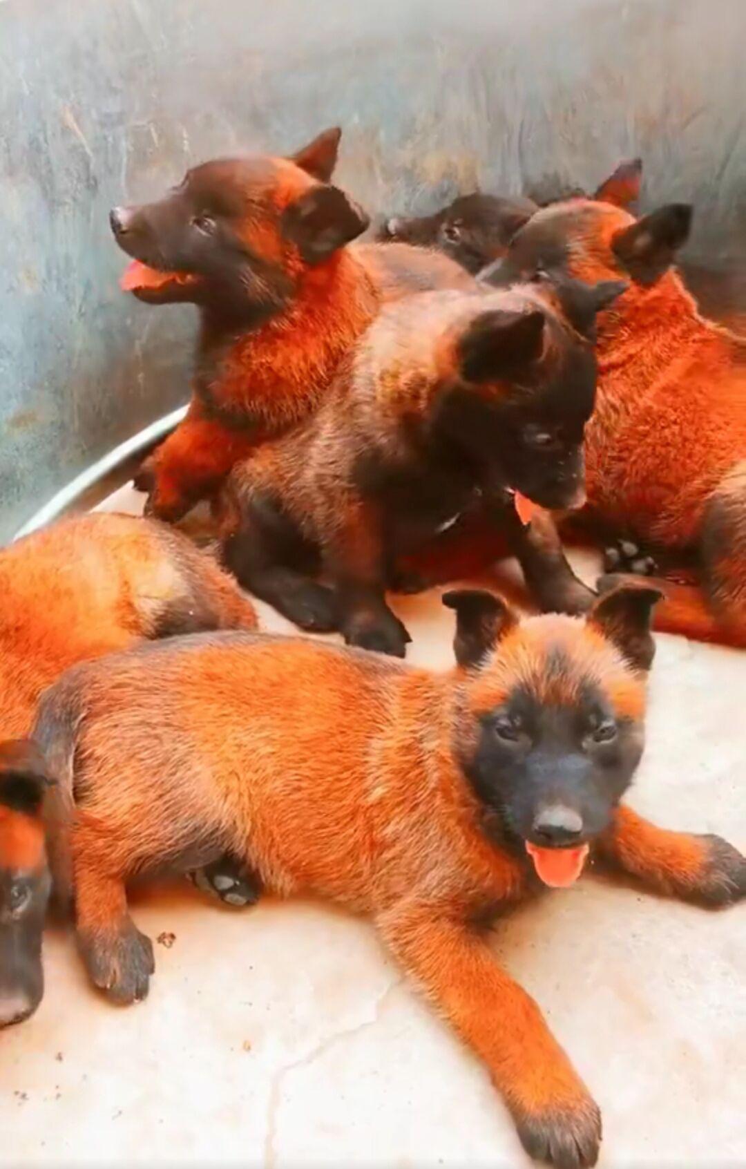 出售马犬公母都有品质一流品质保障可全国送货